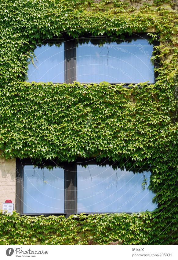 ivy Plant Bushes Leaf Foliage plant House (Residential Structure) Wall (barrier) Wall (building) Facade Window Growth Ivy Colour photo Exterior shot Deserted
