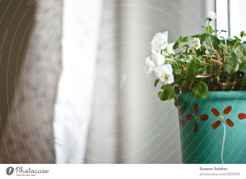 White Flower Plant Calm Leaf Window Blossom Growth Living or residing Turquoise Drape Curtain Alternative Flowerpot Window board Houseplant