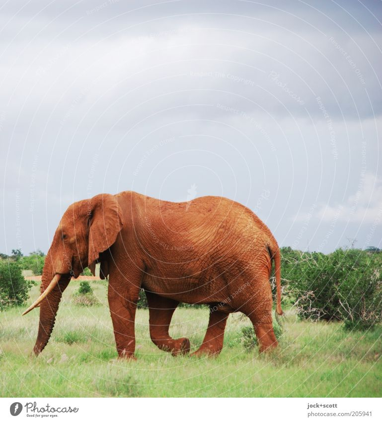 pachyderm Safari Animal Sky Storm clouds Climate Warmth Grass Bushes Exotic Savannah Kenya Wild animal Elephant 1 Movement Going Hiking Fat Large Strong Green