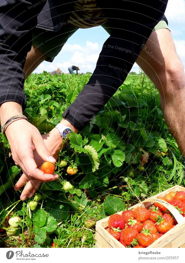 EVERY YEAR AGAIN... Human being Masculine Life 2 Nature Landscape Summer Beautiful weather Field Work and employment Strawberry strawberry field Pick Nutrition
