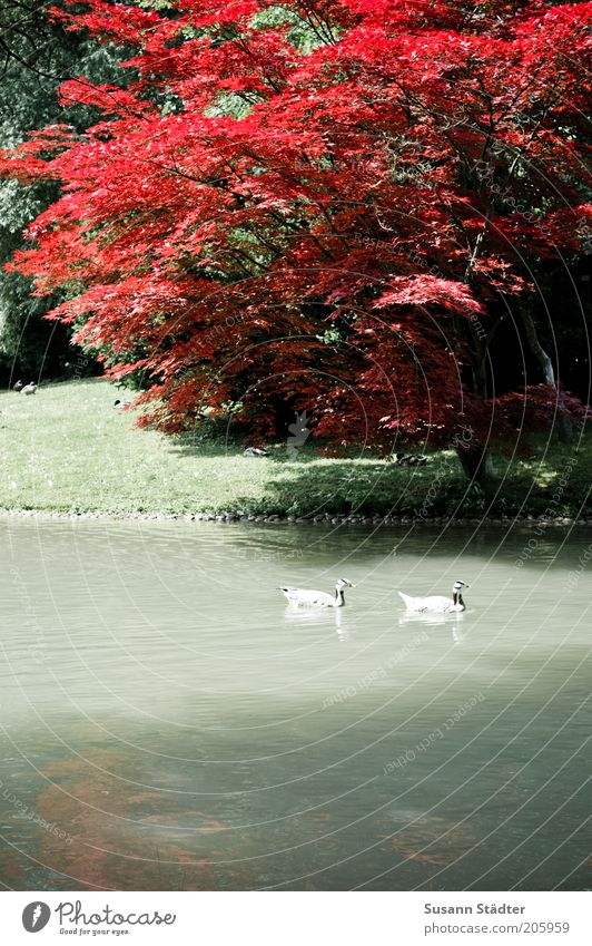 Nature Water Tree Plant Red Animal Meadow Garden Park Together Germany Pair of animals Swimming & Bathing Wing Munich Idyll