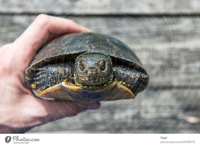 A hand with big pet turtle hided in shell Exotic Summer Sun Desk Table Hand Environment Nature Animal Pet Wild animal Animal face 1 Wood Old Small Natural Cute