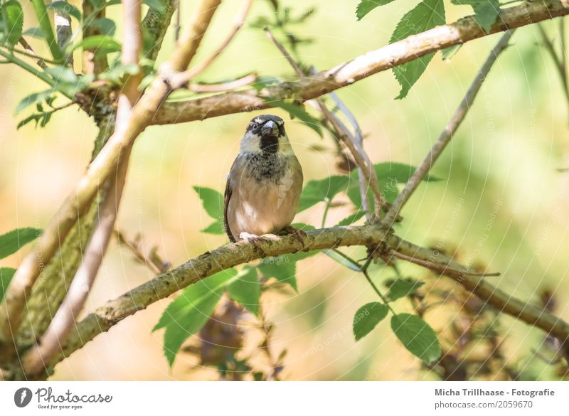 sparrow in a tree Environment Nature Plant Animal Sun Sunlight Climate Beautiful weather Tree Wild animal Bird Animal face Wing Claw Sparrow Beak Feather 1