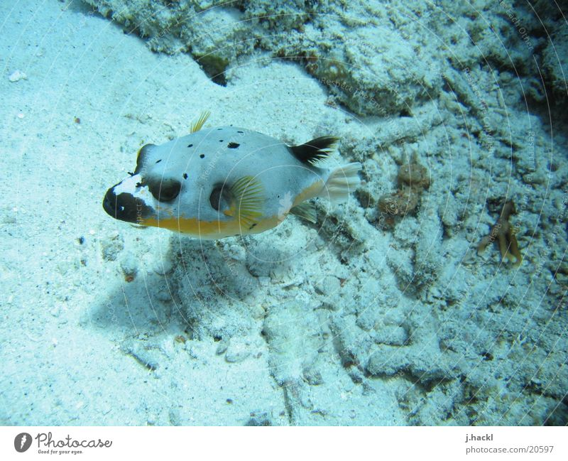 masked boxfish Underwater photo Coral Dive Diving equipment Ocean Beach Fish Water wings sea dweller