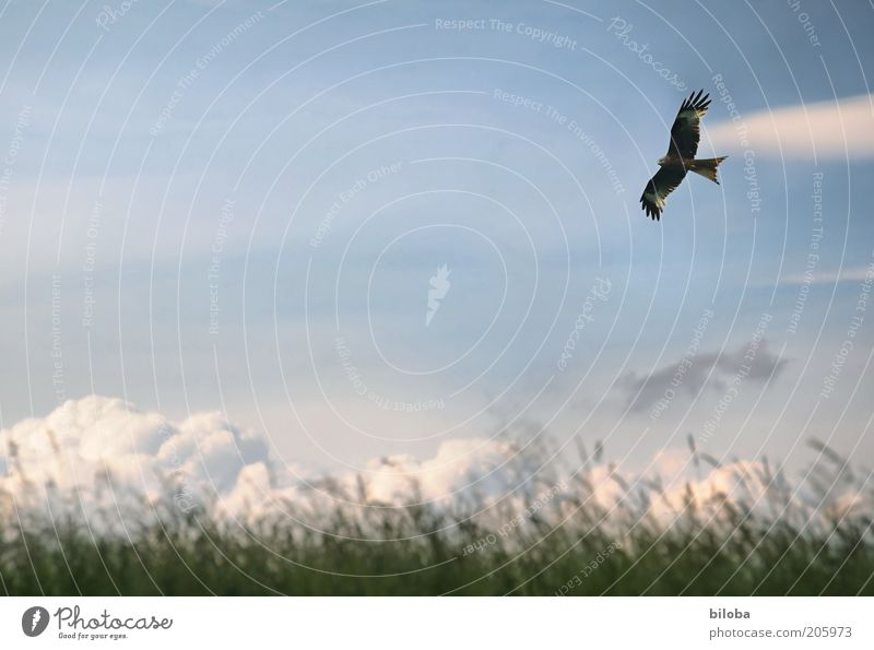 freedom Clouds Climate Weather Bird Wing 1 Animal Blue Brown Green White Esthetic Freedom Common buzzard Sailing Copy Space right Flying Exterior shot