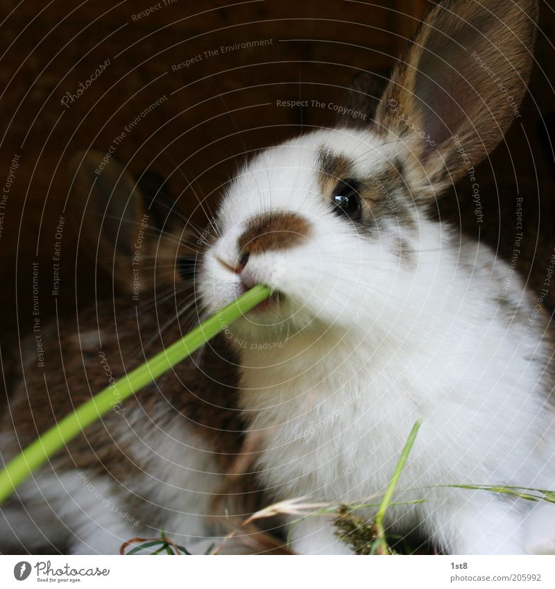 BarHase Environment Nature Plant Animal Pet Farm animal Hare ears To feed Feeding To enjoy Juicy Whimsical Blade of grass Straw Suck Pelt Colour photo