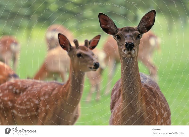 Environment Happy Brown Contentment Communicate Stand Uniqueness Group of animals Observe Curiosity Vension Contact Ear Trust Surprise