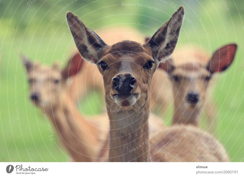 inquisitiveness Pelt Sika deer sikawild Ear Eyes Wild animal Group of animals radar cone Observe Communicate Stand Together Near Brown Trust Curiosity Interest