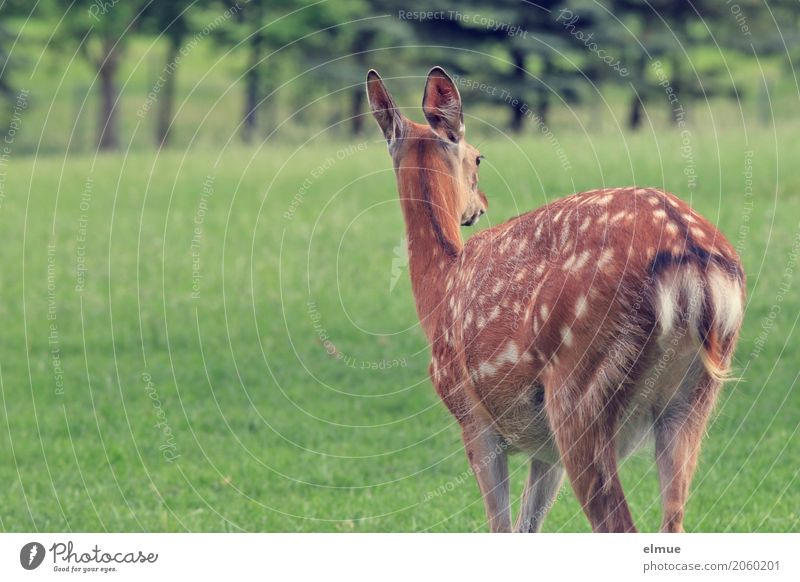 backing Sika deer sikawild Deer Ear Outer ear Mirror Pelt furred game eel line spot drawing Polka dot hunter Latin Wild animal Observe Looking Stand Esthetic