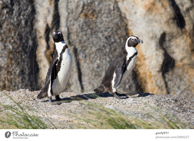 What's going on??? Nature Landscape Spring Summer Beautiful weather Coast Beach South Africa Animal Wild animal Animal face Pelt Penguin 2 Pair of animals Stone
