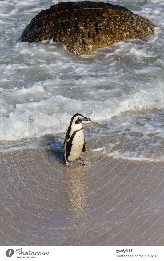 What now??? Nature Landscape Water Spring Summer Beautiful weather Rock Waves Coast Beach Bay Ocean South Africa Animal Wild animal Animal face Pelt Penguin 1