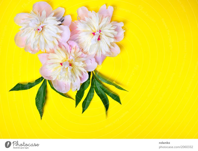Three pink peony flowers on a yellow background Nature Plant Colour Green White Flower Leaf Yellow Blossom Natural Feasts & Celebrations Pink Bright Fresh