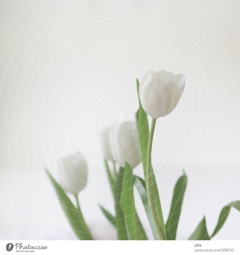 Beautiful White Flower Green Plant Blossom Bright Elegant Esthetic Bouquet Tulip