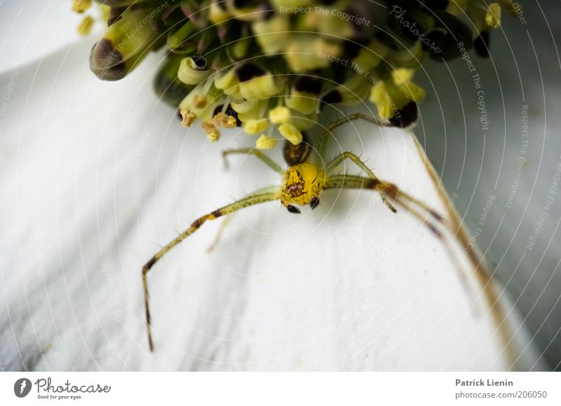 Catch Me If You Can Environment Nature Animal Wild animal Spider 1 Wait Blossom Observe Long Fear Beautiful Flower Ready Sit Mysterious Threat Crab spider