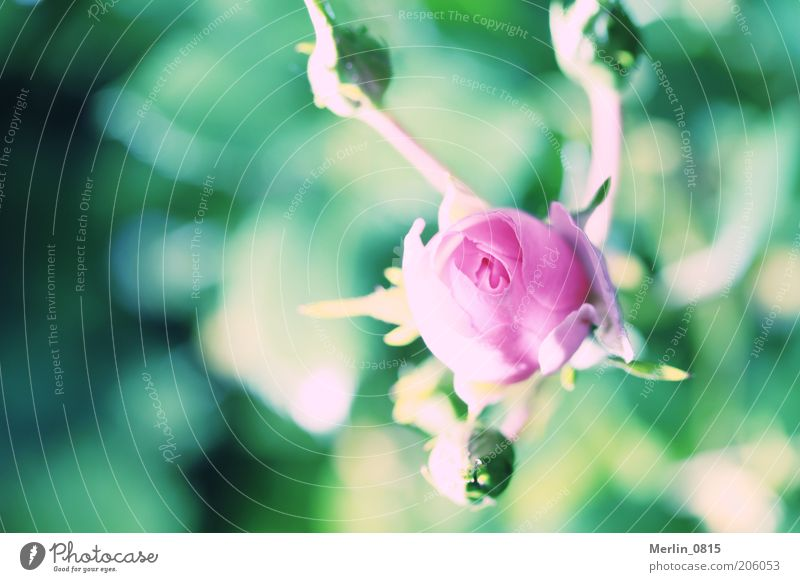 Sleeping Beauty Nature Plant Spring Rose Blossom Emotions Life Colour photo Exterior shot Close-up Macro (Extreme close-up) Copy Space left Day Light Shadow