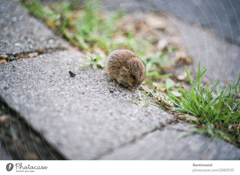 Town Animal Baby animal Street Grass Small Brown Wild animal Cute Footpath Sidewalk Pelt Seed To feed Mouse Field vole
