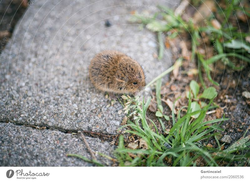 ground mouse Town Street Animal Wild animal Mouse Pelt 1 Baby animal Small Cute Field vole Microtus agrestis To feed Grass Seed Brown Colour photo Exterior shot