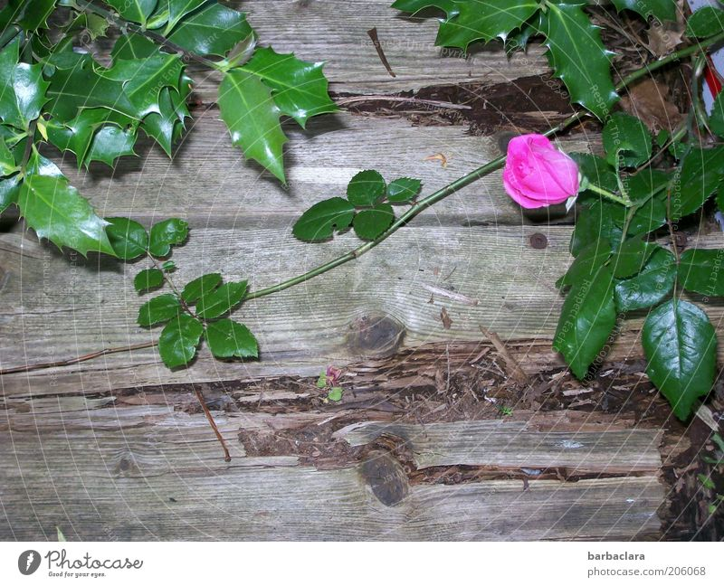 I never promised you a rose garden. Plant Flower Rose Blossom Wood Old Blossoming Fragrance Growth Pink Decline wallflower Colour photo Exterior shot Day Thorn