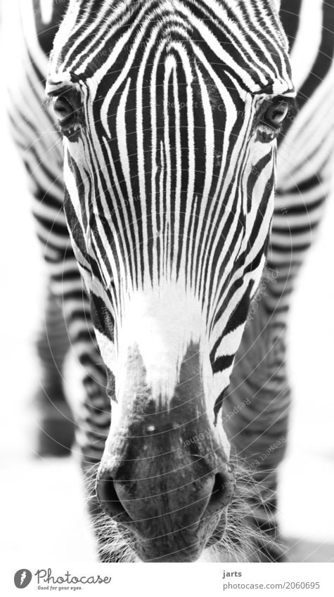 Zebra II Wild animal Animal face 1 Stand Africa Stripe Black & white photo Exterior shot Close-up Deserted Day Shallow depth of field Central perspective