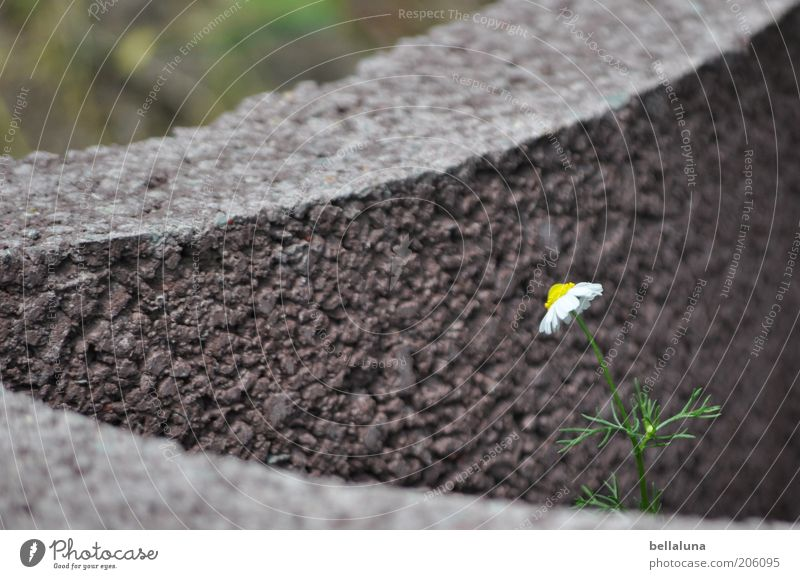 Nature Beautiful Plant Flower Summer Environment Blossom Stone Growth Protection Individual Stalk Minimalistic Isolated (Position) Chamomile