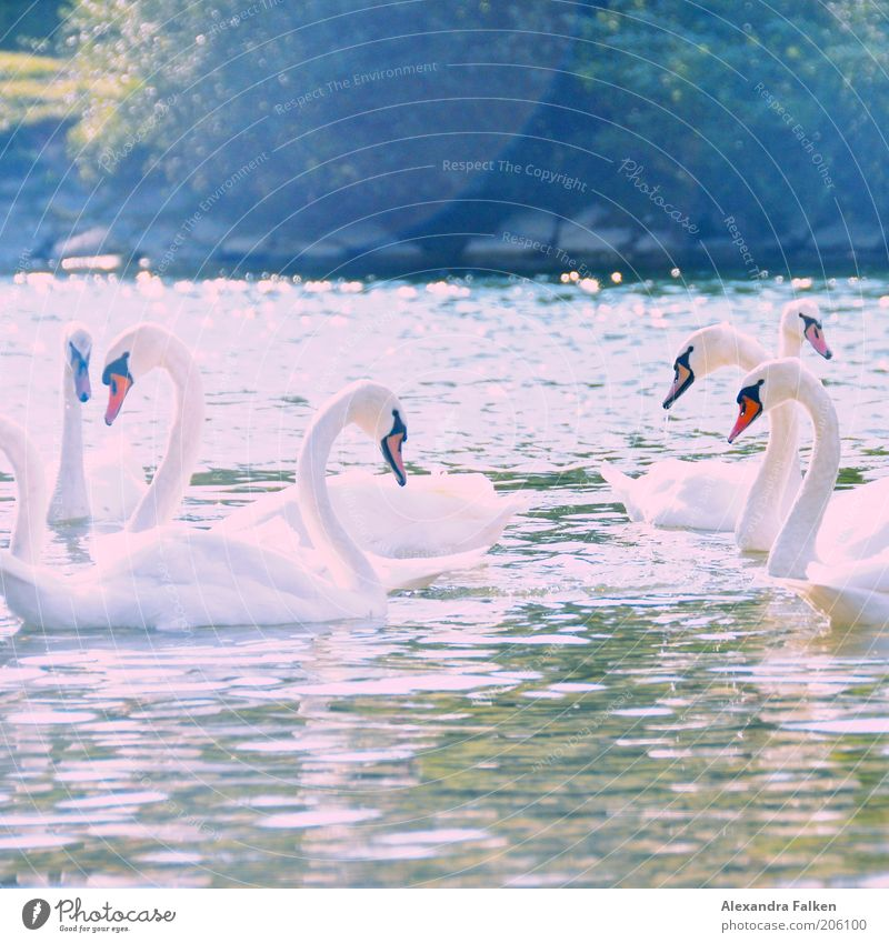 Water White Summer Love Animal Together Esthetic Multiple Group of animals Near Symbols and metaphors Lakeside River bank Safety (feeling of) Swan