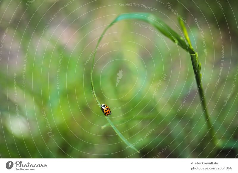 ladybugs Garden Environment Nature Landscape Animal Grass Meadow Farm animal Beetle Ladybird 1 Adventure Freedom Red Point Blade of grass Grass green