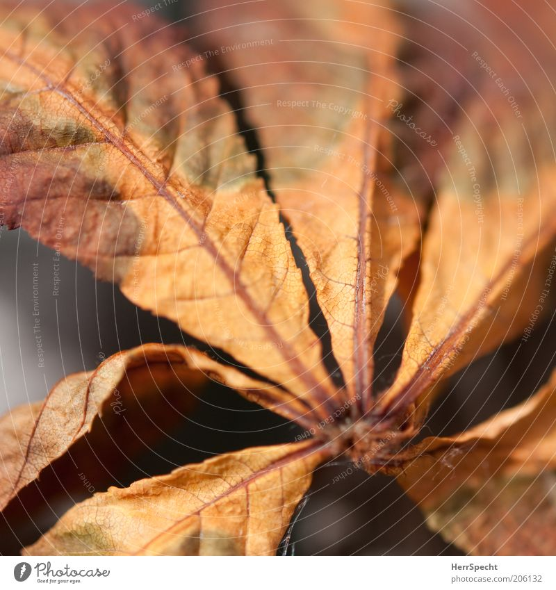 Leaf Autumn Brown Orange Transience Dry Autumn leaves Macro (Extreme close-up) Colouring Autumnal colours Chestnut leaf