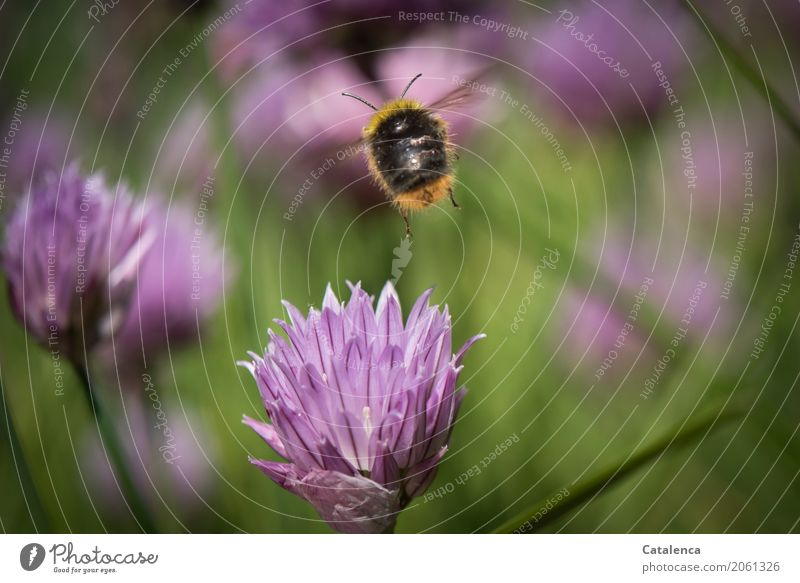 A fast tempo. Nature Plant Animal Summer Chives chive blossom Garden Insect Bumble bee 1 Blossoming Fragrance Flying Authentic Brown Yellow Green Violet