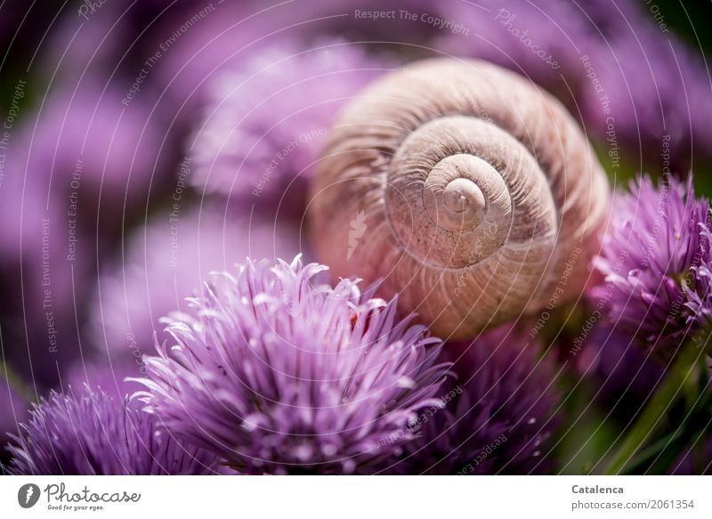 Kitsch | pinkish motif Nature Plant Animal Summer Blossom Chives chive blossom Garden Vegetable garden Snail Snail shell Large garden snail shell 1 Blossoming