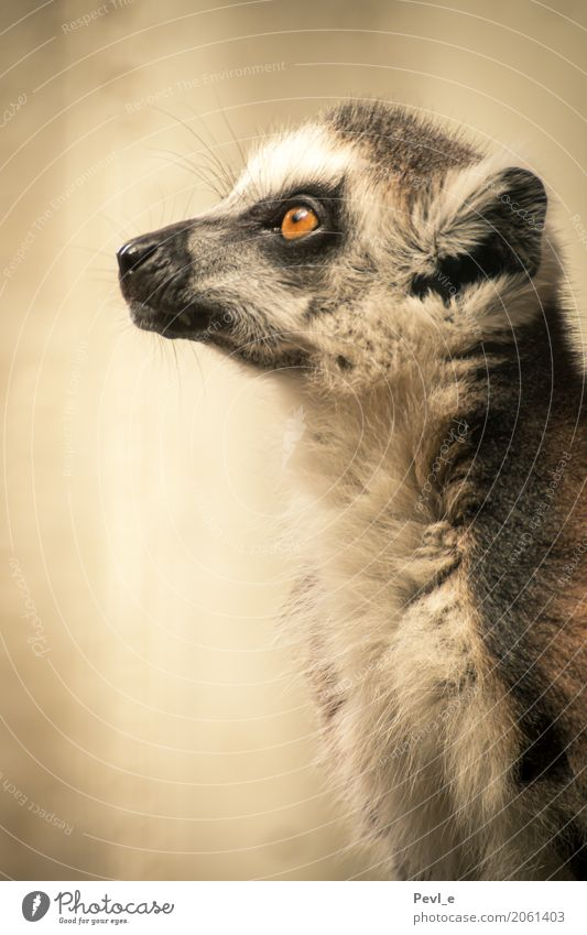 Animal Emotions Gray Think Hope Belief Peace Exotic Zoo Ring-tailed Lemur