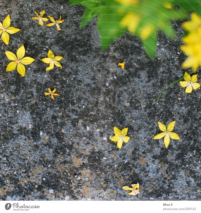Nature Green Plant Summer Flower Leaf Yellow Blossom Gray Garden Lie Star (Symbol) Ground Blossoming To fall Blossom leave