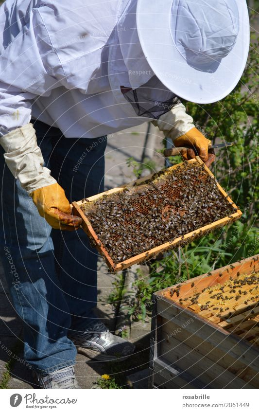 Beekeeper with gloves and veil controls his beehive and searches for queen cells Human being Man Adults 1 Nature Beehive Honey-comb Prey - Bee house Workwear