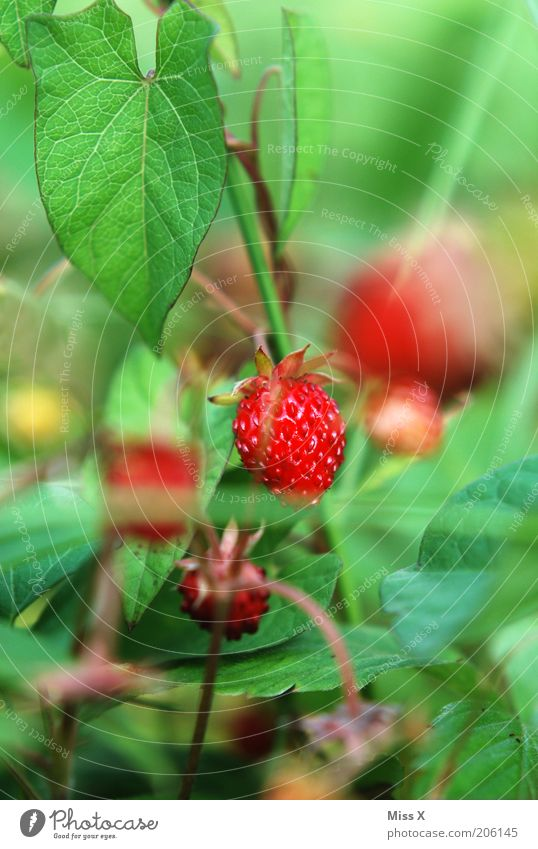 Berry II Food Fruit Nutrition Garden Nature Summer Plant Leaf Agricultural crop Wild plant Meadow Healthy Small Delicious Red Strawberry Wild strawberry