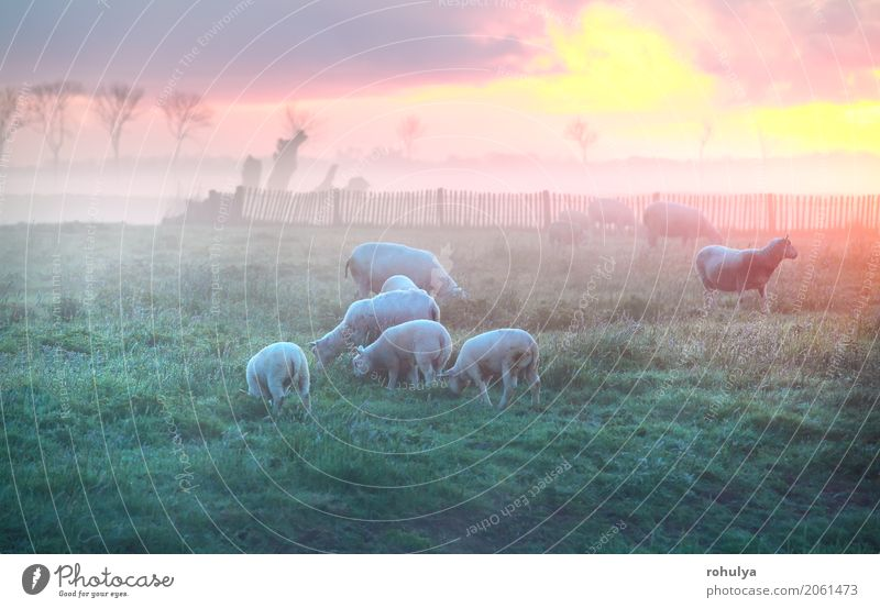 sheep and lambs graze on pasture at sunrise, Holland Summer Sun Nature Landscape Clouds Sunrise Sunset Fog Grass Meadow Animal Farm animal Group of animals
