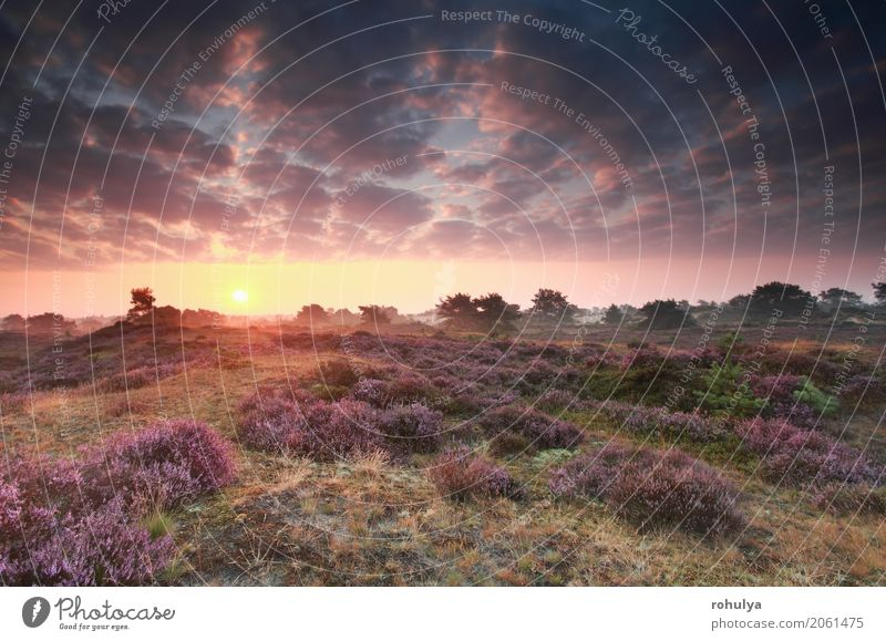 flowering heather at sunrise in summer Summer Sun Nature Landscape Sky Clouds Sunrise Sunset Beautiful weather Flower Blossom Meadow Hill Wild Pink Serene