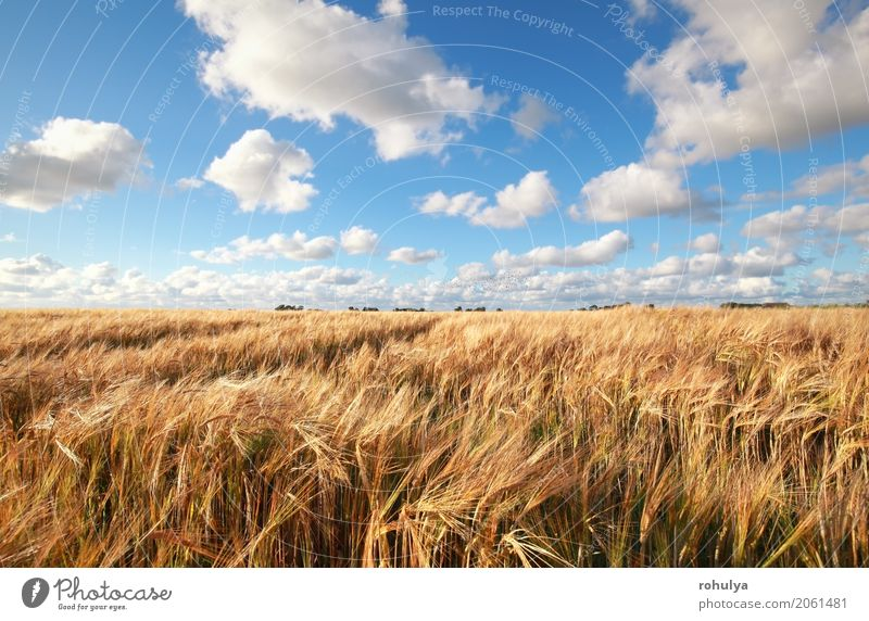blue sky over wheat field in summer Summer Nature Landscape Sky Clouds Horizon Sunlight Beautiful weather Field Blue White Wheat grain Cereal Ray meadiw