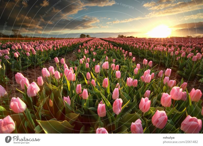 sunset over pink tulip field Sun Nature Landscape Sky Clouds Sunrise Sunset Spring Flower Tulip Blossom Field Blue Pink many cultivated agriculture
