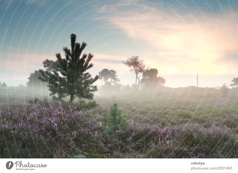 misty sunrise and flowering heather in summer Sky Nature Summer Sun Tree Landscape Flower Blossom Meadow Fog Vantage point Blossoming Hill Serene Pine