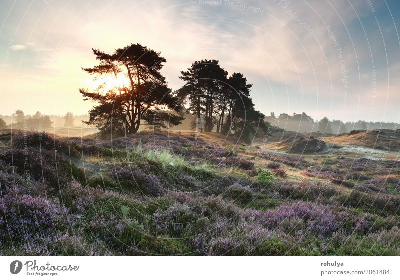 pine trees and heather flowers at misty sunrise Summer Sun Nature Landscape Sky Sunrise Sunset Beautiful weather Fog Tree Flower Blossom Meadow Hill Blue Pink