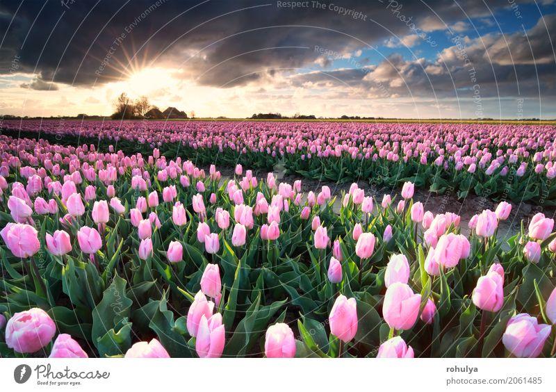Spring Flowers Tulips Field Sunrise Grass Clouds: Sunshine Over Pink Tulip Field, Netherlands