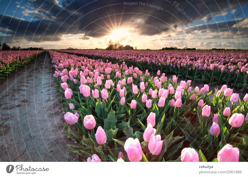 Sunshine over field with pink tulips, Holland Vacation & Travel Culture Nature Landscape Sky Clouds Horizon Sunrise Sunset Spring Beautiful weather Flower Tulip