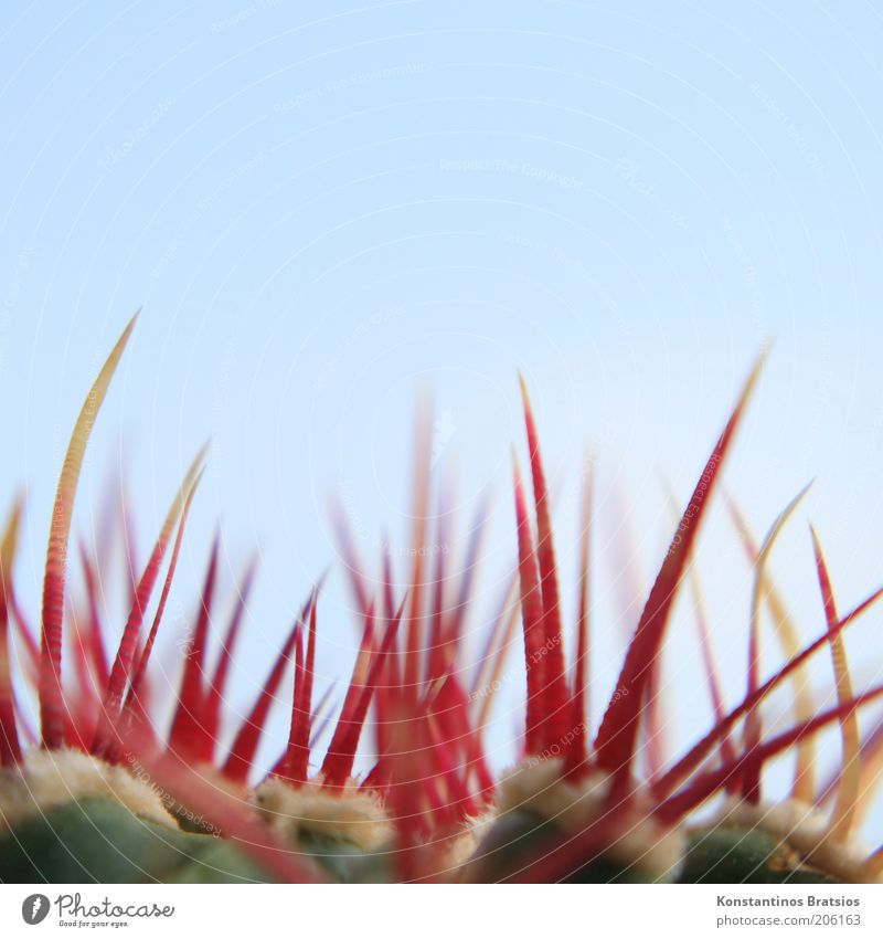 Stechus cactus Plant Cloudless sky Cactus Cactusprickle Thin Authentic Firm Large Near Above Point Thorny Blue Yellow Red Dangerous Esthetic Pain Protection