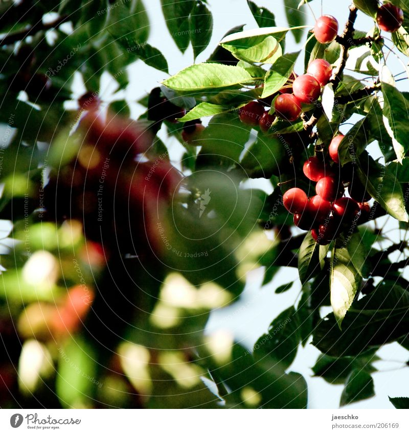 Stone fruit tree detail Nature Summer Tree Leaf Juicy Green Red Cherry Sweet Cherry tree Mature Fruit Fruit trees Colour photo Exterior shot Close-up Detail