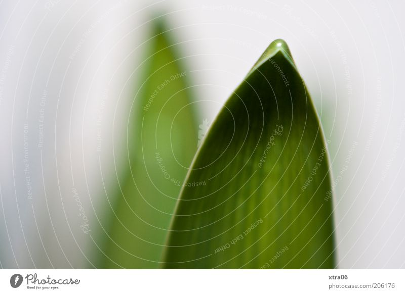 orchid leaf Plant Leaf Pot plant Simple Colour photo Close-up Detail Neutral Background Foliage plant Point Structures and shapes Leaf green Leaf filament