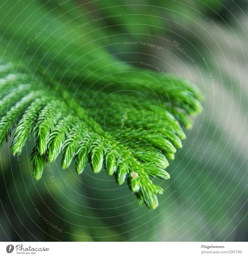 Oh, Christmas tree! Plant Tree To dry up Growth Coniferous trees Clearing Green Colour photo Branch Exterior shot Nature Day