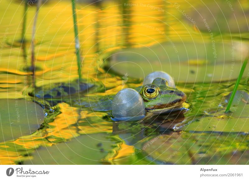 Risk the cheeks bursting. Plant Leaf Wild plant Water lily leaf Garden Park Bog Marsh Pond Animal Wild animal Frog 1 Swimming & Bathing Quack Loud frog pond