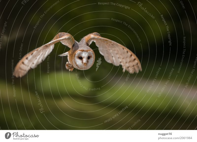 barn owl Environment Nature Animal Beautiful weather Park Forest Wild animal Bird Animal face Wing Zoo Barn owl 1 Flying Hunting Esthetic Authentic Exceptional