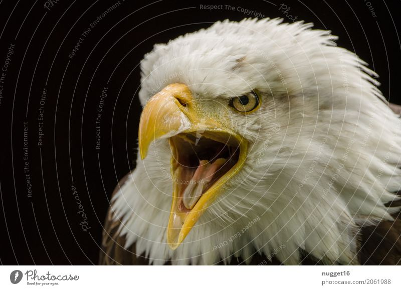 bald eagle Environment Nature Animal Spring Summer Wild animal Bird Animal face Wing Zoo 1 Observe Aggression Esthetic Exceptional Threat Near Anger Brown
