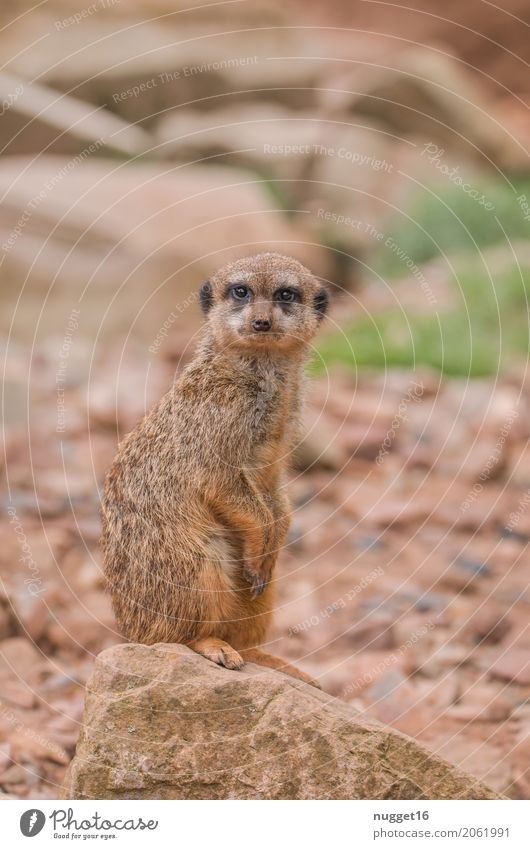 meerkats Nature Animal Sand Beautiful weather Rock Wild animal Animal face Pelt Claw Paw Zoo Meerkat 1 Observe Crouch Esthetic Exotic Brash Friendliness Funny