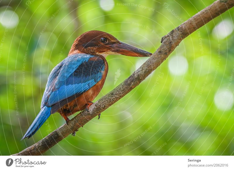 Everything at a glance Tree Animal Wild animal Bird Animal face Wing Claw 1 Flying Kingfisher Asia Sri Lanka Multicoloured Blue Brown Red Beak Colour photo